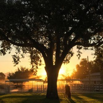 Sunrise at MK ranch with silhouettes of horses and an oak tree