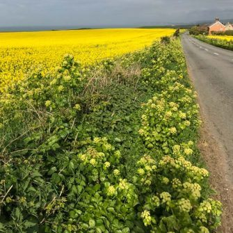 Cycling the Military Road in south Isle of Wight, alongside a bright yellow field
