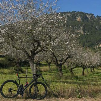 Glorious almond blossom with bike resting against tree