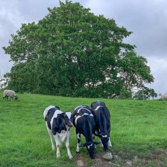 Cows grazing in Coverdale, Yorkshire Dales