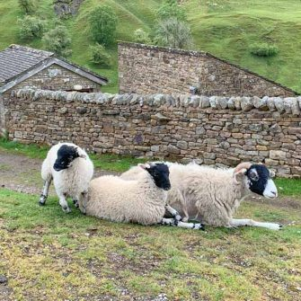Sheep by the road, Yorkshire Dales