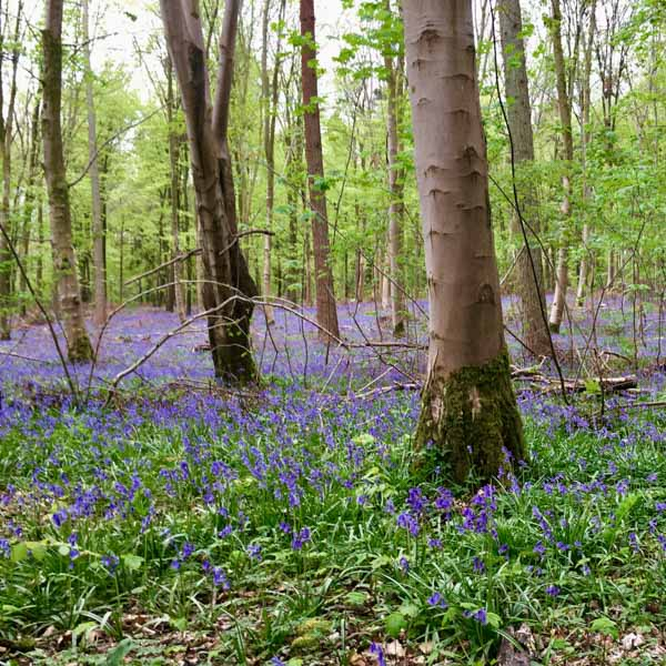 Bluebell woods in South Downs National Park