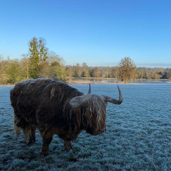 Highland cattle at Avington Park