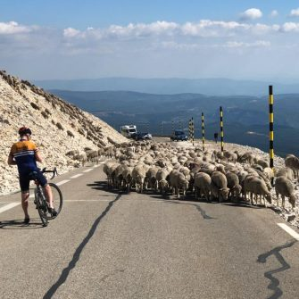 Sheep on the final descent of the cingle du mont ventoux down to bedoin