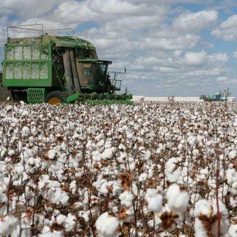 Cotton fields of Alabama USA